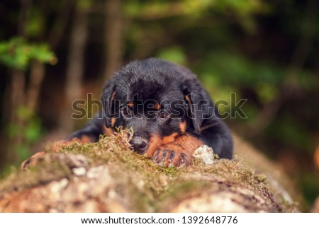 Puppy rottweiler lying on a tree with head down #1392648776