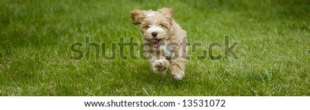 Puppy running in the park
