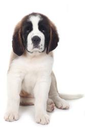 Puppy Saint Bernard on a White Background