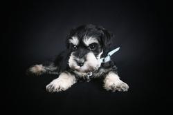 puppy schnauzer miniature in black background