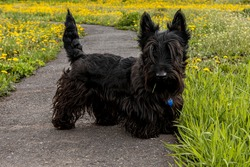 Puppy Scottish Terrier walks on a trail in the grass.