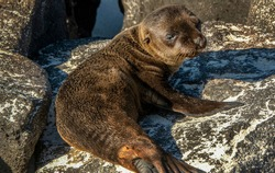 puppy sea lion: a close up of a puppy sea lion on the rock in Galapagos