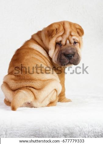 Puppy shar pei red studio