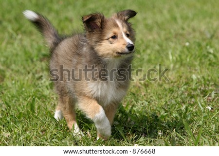 Sheltie Puppies on Furry Purebred Blue Merle Shetland Sheepdog In Find Similar Images