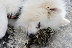 puppy sleeping with toy. white polar dog close up