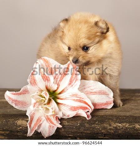 puppy spitz and  flowers