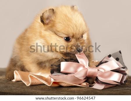 puppy spitz   bites bow