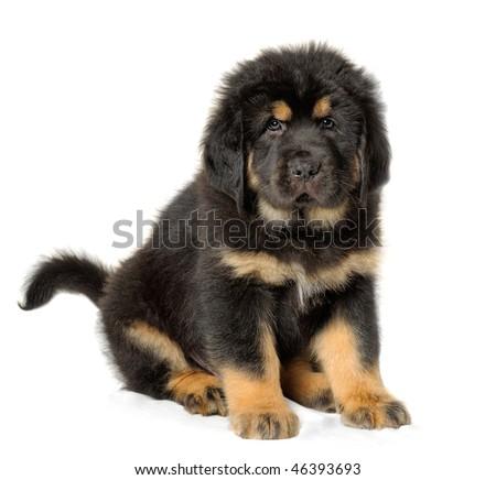 Mastiff Puppies on Puppy Tibetan Mastiff Stock Photo 46393693   Shutterstock