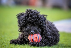 puppy toy poodle playing ball