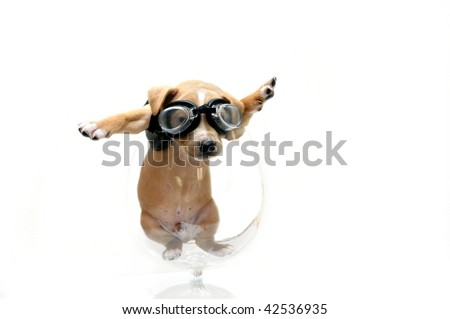 Puppy wearing goggles and black leather jacket is caught inside a glass goblet.  He could have been either looking for his motor cycle or his airplane.