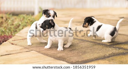 Puppy 6 weeks old playing together. Group of purebred  small Jack Russell Terrier baby dogs Foto stock ©
