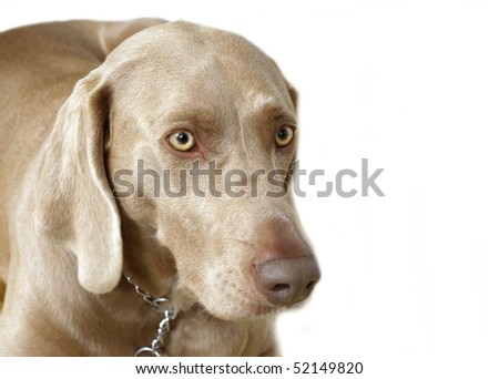 puppy Weimaraner head portrait
