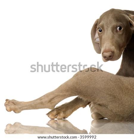 puppy Weimaraner in front of white background