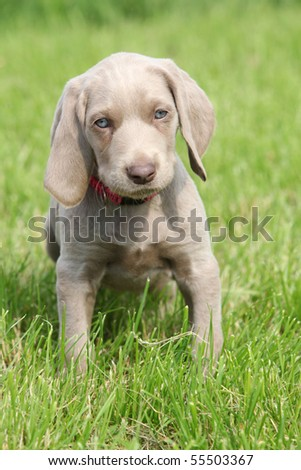 Weimaraner Puppies on Puppy Weimaraner Looking Puppy Weimaraner Looking And Find Similar