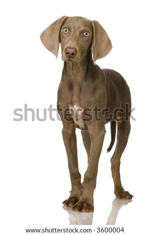 puppy Weimaraner standing up in front of white background