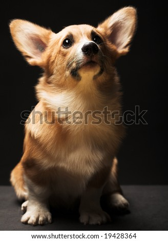 Puppy Welsh Corgi sitting in front of a black  background - stock photo