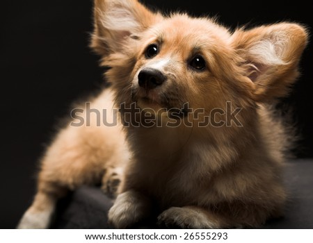 Puppy Welsh Corgi sitting in front of a black  background