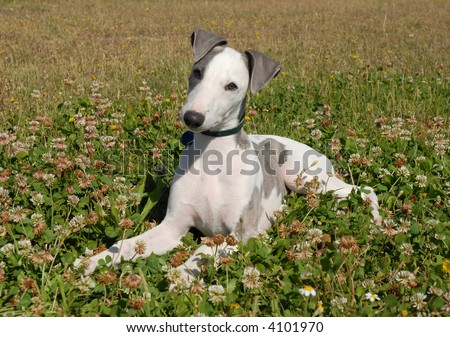 Whippet Puppies on Puppy Whippet Laid Down In A Field Stock Photo 4101970   Shutterstock