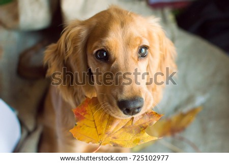 puppy with autumn leaves in the mouth #725102977