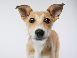 puppy with big beautiful eyes. dog on a light grey background, mix breed