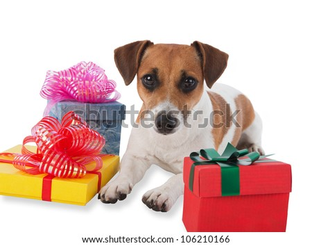 Puppy with gift boxes. Jack Russell with gift boxes on white background