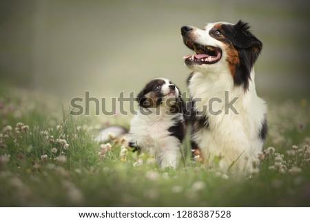 Puppy with mom. Proud australian shepherd puppy.
