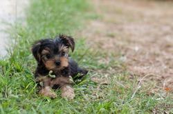 Puppy Yorkie on the grass