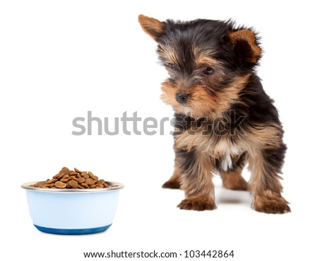 Puppy Yorkshire looking the feed bowl on a white background.
