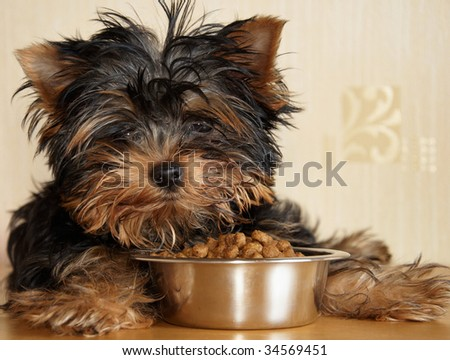 Puppy yorkshire terrier and canine food