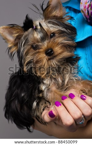 Puppy yorkshire terrier sitting on woman hands