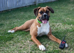 Pure bred Boxer dog wearing a remote collar remote training collar