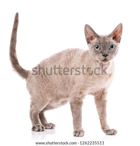 Pure-bred devon rex cat portrait on white background Foto d'archivio ©