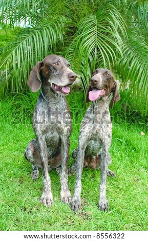 Pure bred german pointer dogs sitting down