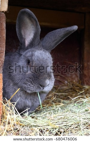 Pure bred male rabbit, Moravian blue, with tattoo in the ear. Well built rabbit  in the open hutch. ストックフォト ©