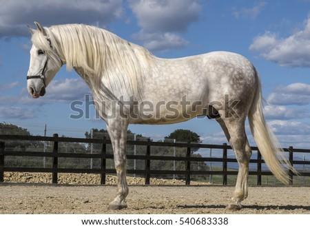 Pure bred Spanish stallion . ストックフォト ©
