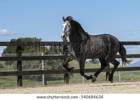 Pure bred Spanish stallion galopping. ストックフォト ©