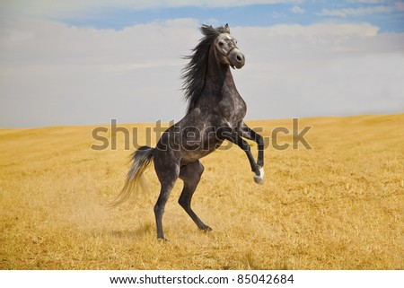 Pure breed Arabian horse standing on a golden field