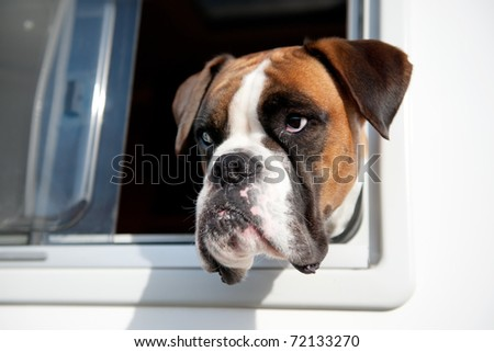 Pure breed Bull dog is looking out of the car window