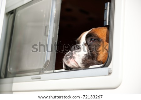 Pure breed Bull dog is thinking while looking out of the car window