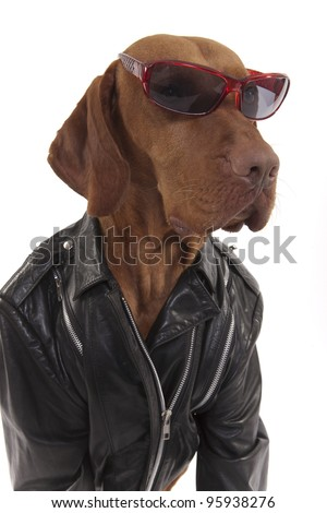 pure breed dog in leather jacket wearing sunglasses on white background - stock photo