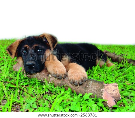 Pure breed german shepherd puppy
