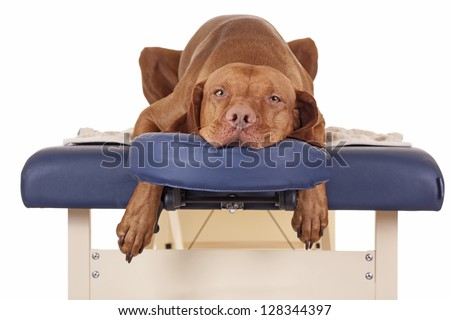 pure breed golden color dog laying relaxed on a massage table isolated on white background