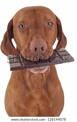 pure breed golden dog holding real dark chocolate in mouth on white background