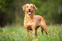Pure breed Labrador Retriever dog from working line
