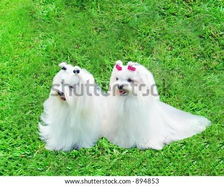 Pure breed maltese couple