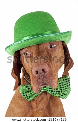 pure breed pointer dog wearing green Irish hat and bow tie isolated on white background