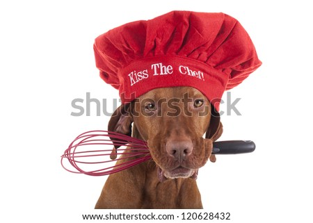 pure breed vizsla dog with red Christmas chef hat holding an egg beater in mouth