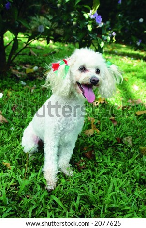 Pure breed white miniature french poodle or caniche sitting in front of a wheel barrel