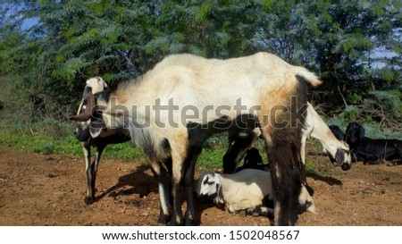 Pure nellore breed sheep breeding ram #1502048567