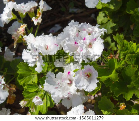 Pure white and pink double flowers of a decorative  pelargonium species  blooming throughout the year add  color to the  garden land scape in spring with ruffled blooms. #1565011279